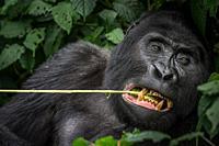 Mountain gorilla (Gorilla beringei beringei) feeding. Bwindi Impenetrable Forest. Uganda.