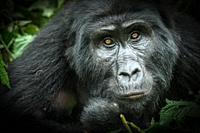 Mountain gorilla (Gorilla beringei beringei). Bwindi Impenetrable Forest. Uganda.
