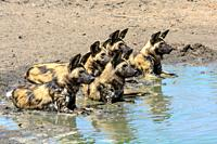 African wild dog, African hunting dog, African painted dog, cape hunting dog, wild dog or painted wolf (Lycaon pictus) wallowing in a waterhole. Limpo...