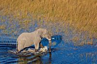 Aerial view of African bush elephant (Loxodonta africana). Okavango Delta. Botswana.