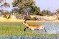 Red lechwe (Kobus leche leche). Okavango Delta. Botswana.