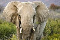 African bush elephant or African savanna elephant (Loxodonta africana). Madikwe Game Reserve. North West Province. South Africa. They are the largest ...