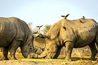 White rhinoceros or square-lipped rhinoceros (Ceratotherium simum) fighting as Red-billed (Redbilled) Oxpeckers (Buphagus erythrorhynchus) land on the...