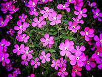 Silene flowers.