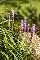 Flowering spikes of Liatris spicata 'Kobold' (commonly called Blazing Star) growing in the garden. Kaluga Region, Russia.