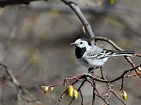 White wagtail (Motacilla alba) perched on a tree branch. Moscow, Russia.