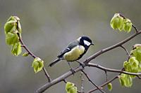 The great tit (Parus major) perched on a tree branch. Moscow, Russia.