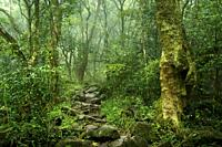 Mist belt forest interior. Karkloof. Howick. KwaZulu Natal Midlands. South Africa.
