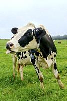 Holstein cattle. Howick. KwaZulu Natal Midlands. South Africa.