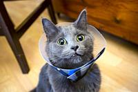 cat with protective plastic vetinary neck cone.