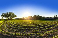 curved rows of young corn plants in the spring at sunset. Meaford, Ontario, Canada.