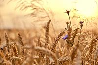 Golden wheat field with cornflower at sunset background.