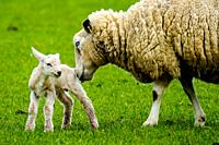 Ewe tends to her newly born lamb in springtime.