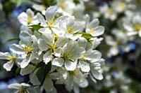 Beautiful flowering apple trees. background with blooming flowers in spring day. selective focus and bokeh.