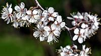 Cherry tree branch with blossoming flowers - close up.
