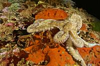 Common Octopus (Octopus vulgaris) hunting Devil crab. Swimming crab. Velvet fiddler. Velvet Swimming Crab (Necora puber). Eastern Atlantic. Galicia. S...