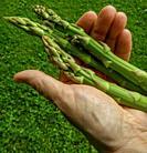 Gardener holding fresh cut asparagus.
