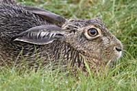 Hare / Brown Hare / European Hare / Feldhase ( Lepus europaeus ) lying / resting in meadow, relaxed, very detailed close up, wildlife, Europe.