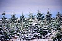 Christmas trees growing on a 'Christmas Tree Farm' in South Lanarkshire, Scotland.