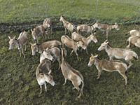 TARUTINO STEPPE, ODESSA OBLAST, UKRAINE - JUNE 18-19, 2020: Rewilding Ukraine released herd of Transcaspian wild ass (Equus hemionus kulan) for acclim...