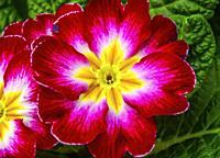 Red Yellow Pink English Primrose Primula Vulgaris Blooming Macro Bellevue Washington State. Native to Europe.