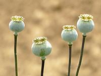 Opium poppy with capsule.