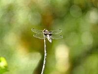 female Broad-bodied chaser sitting on a leaf.