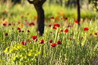 poppies (Papaver rhoeas), almond trees, Almansa, Albacete province, Castile-La Mancha, Spain