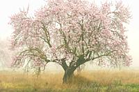 Almond trees in bloom with fog, Almansa, Albacete province, Castile-La Mancha, Spain