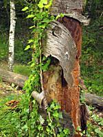 Tree bark. Riverside forest at Foradada stream, Mir cascade site. Santa Maria de Besora village countryside. Osona region, Barcelona province, Catalon...