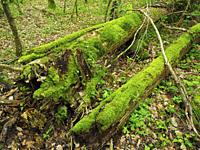 Moss covering fallen tree trunks of the riverside forest at Foradada stream, Mir cascade site. Santa Maria de Besora village countryside. Osona region...