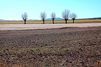 Gallocanta wildlife reserve. Landscape with poplars in winter. Zaragoza.