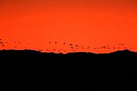Sunset in the wildlife reserve of Gallocanta with cranes reaching the lagoon. Zaragoza.