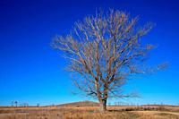 Poplar in winter in the wildlife reserve of Gallocanta. Zaragoza province. Aragon, Spain.
