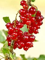 red currant, closeup of the ripe berries.