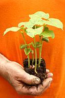 Seedlings of beans.