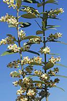 Flowers of olive tree. Olea europaea.