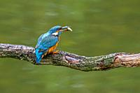 Common kingfisher (Alcedo atthis) female with caught ninespine stickleback (Pungitius pungitius) fish in beak perched on branch over water of pond