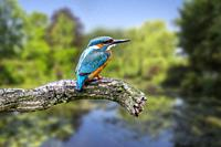 Common kingfisher (Alcedo atthis) female perched on branch over water of pond in summer