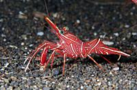 Dancing Shrimp (Rhynchocinetes durbanensis), Amed Beach dive site, Amed, Bali, Indonesia, Indian Ocean.