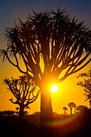 Sunsets behind Quiver Trees at the Quiver Tree Forest - Keetmanshoop Namibia.