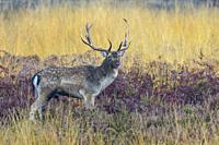 Fallow deer in autumn (Cervus dama), Germany, Europe.