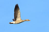 Greylag goose, Anser anser, Germany, Europe.