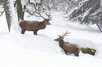 Red deers in Winter, Cervus elaphus, Bavaria, Germany, Europe.