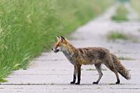 Red fox (Vulpes vulpes) with mouse on path, Hesse, Germany, Europe.