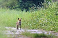 Red fox (Vulpes vulpes) on path, Summer, Hesse, Germany, Europe.