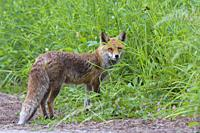 Red fox (Vulpes vulpes) on meadow, Summer, Hesse, Germany, Europe.