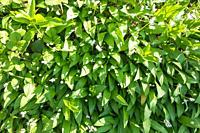 Ramsons (Allium ursinum) also known as Wild Garlic, starting to flower. Herefordshire UK. April 2020.