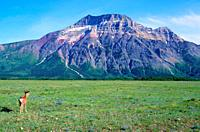 Mule Deer, Odocoileus hemionus, Cervidae, buck, mammal, animal, mountain, Vimy Peak, Waterton Lakes National Park, Province of Alberta, Canada