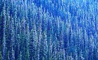 Coniferous forest, snowy, summer snow, Kananaskis Trail, Kananaskis country, Province of Alberta, Canada